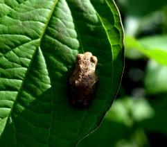 tree frog 3