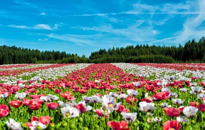poppy-field-of-poppies-flower-flowers-80453