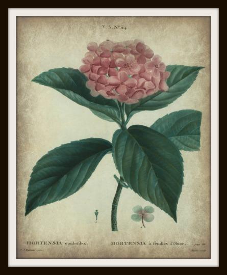 Hortensia opuloïdes tea 8 x 10 frame