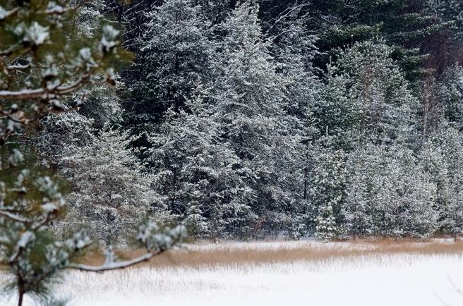 February 11 2018 Snowy Trees