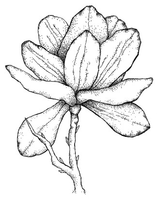 11 x 14 Magnolia Aged Pen and Ink Dark (2)