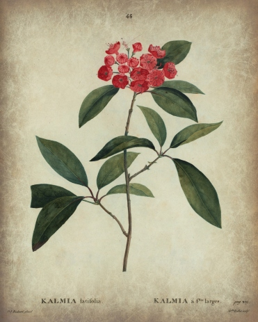 Kalmia latifolia 8 x 10 tea