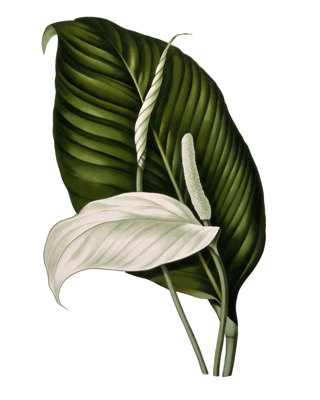 White Lily PDF 8 x 10