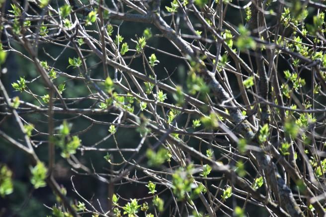 Lilac Bush 5.5.18