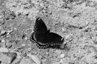 Black with Blue Butterfly bw