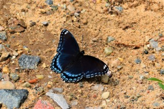 Black with Blue Butterfly