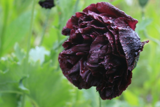 Double Black Opium Poppy