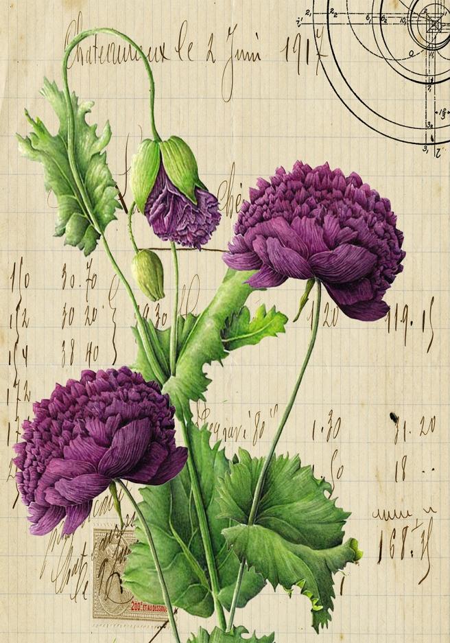 Opium Poppy Paper set on French Paper 3.5 x 5 JPEG