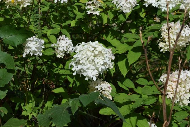 Hydrangea Nevermore Blog
