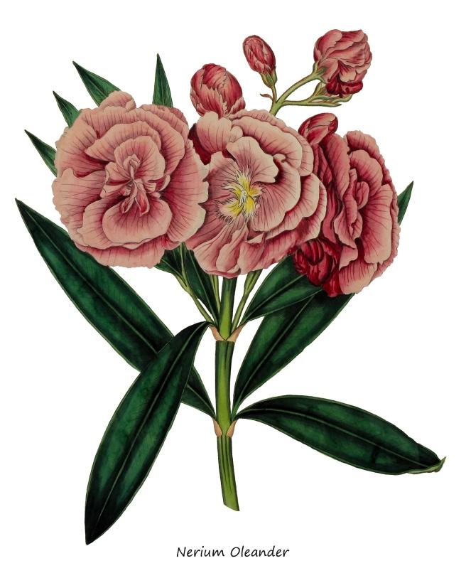 Nerium Oleander JPEG
