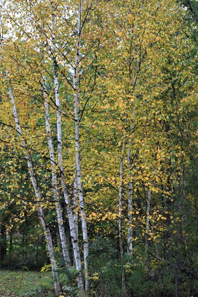 Birch Fall 2018