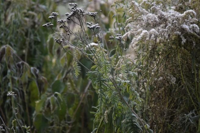 Garden Frost 3 Oct 18