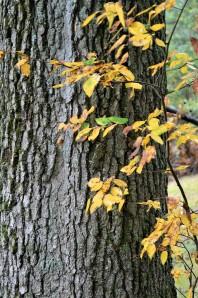 Oak Fall 2018